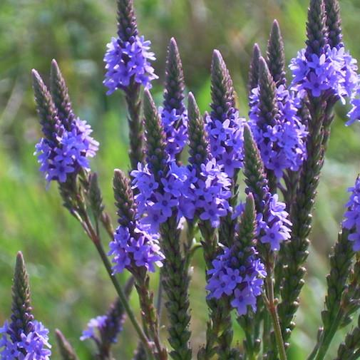 Dr Sebi on Blue Vervain (Prostate, Nervous System