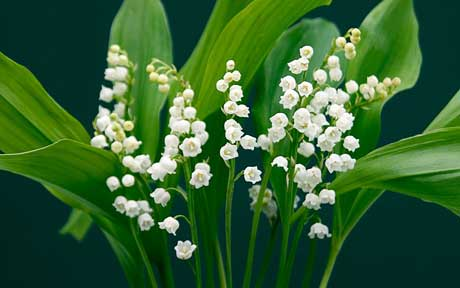 Dr Sebi on Lily of the Valley – (Congestive Heart Failure, Breast Cancer)