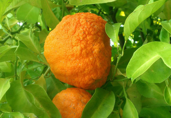 Dr. Sebi on Seville Orange (For Mucus)