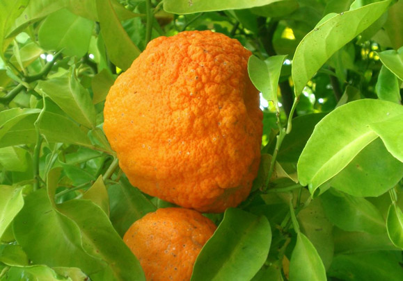 Seville orange (Bitter orange)