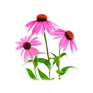 Echinacea (Hybrid plants)