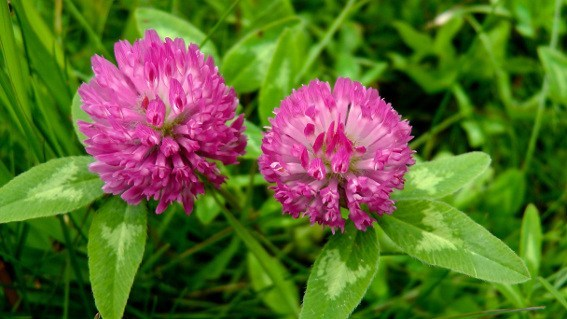Dr Sebi on Red Clover For Women (Endometriosis, Vaginal Discharge etc.)