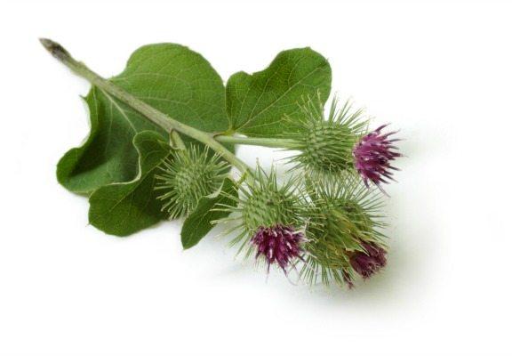 Burdock plant